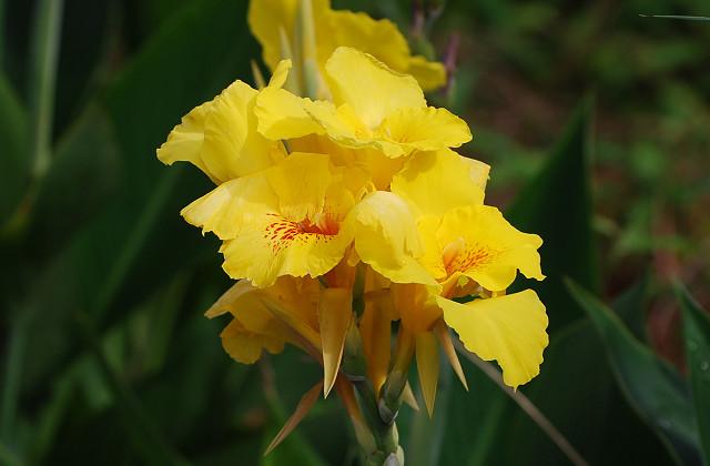 カンナの黄色い花