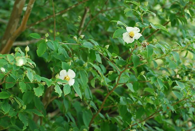 ヒメシャラに花が
