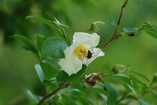 ヒメシャラの花をアップ