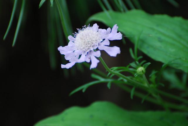 マツムシソウの花がきれい
