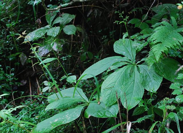 クルマバハグマに花芽が