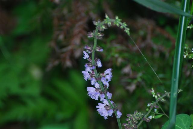 アキノタムラソウが咲いていた