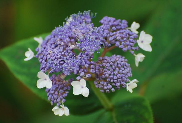 タマアジサイの花が美しい