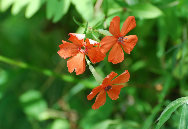 フシグロセンノウの花がさいていた
