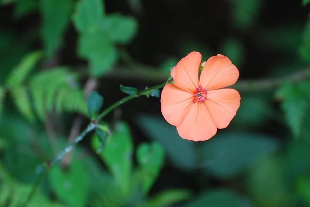 フシグロセンノウの一輪の花