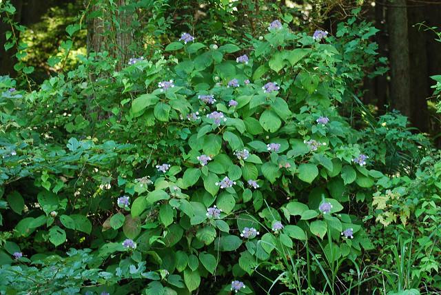 タマアジサイの花がいっぱい