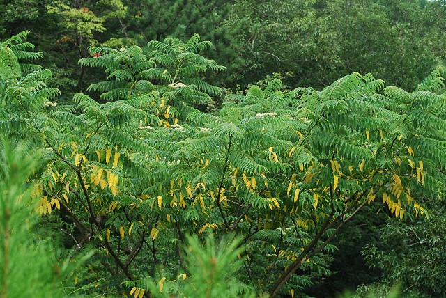 カラスザンショウの黄色い葉