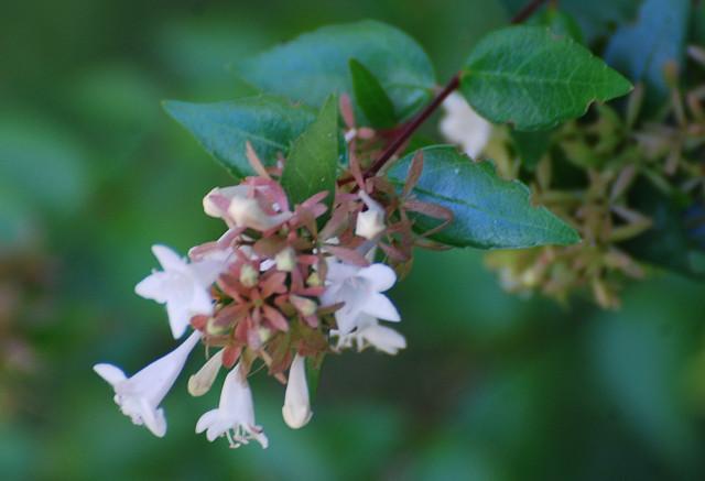 ハナツクバネウツギの花を
