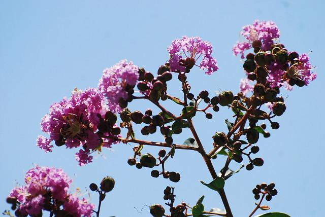 サルスベリの花は