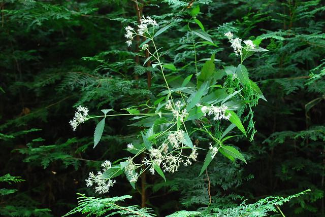 フジバカマの花は