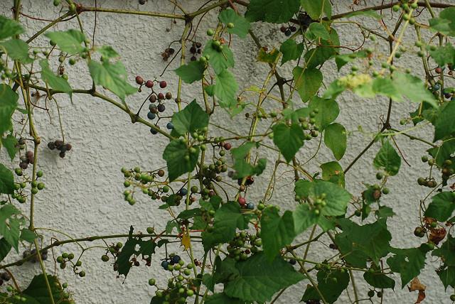 ノブドウの実が色づいて