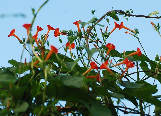 マルバルコウの赤い花が