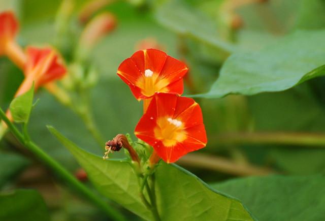マルバルコウの花をアップ