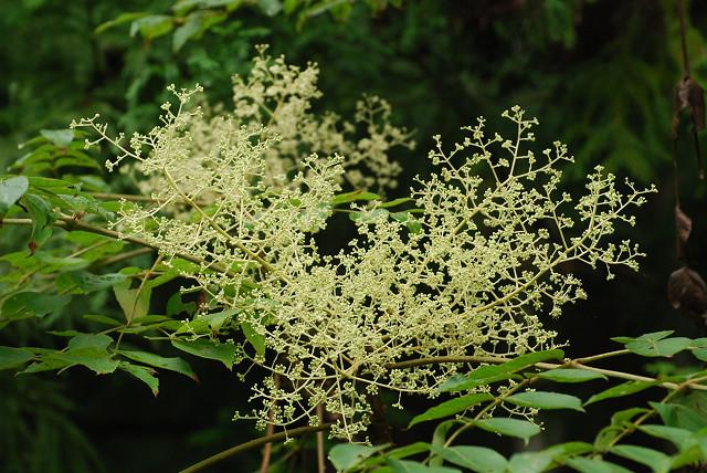 タラノキの花が大きい