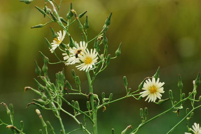 タカサゴソウの花をアップ