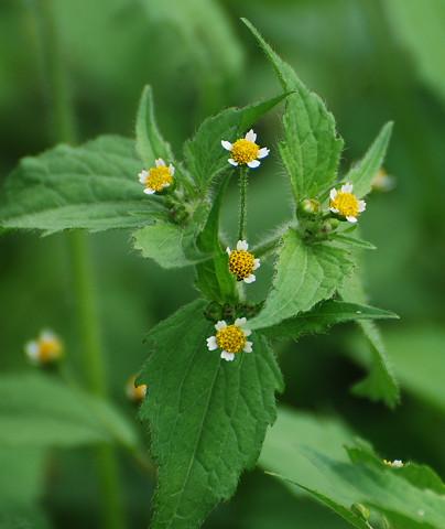 ハキダメギクの花がきれい