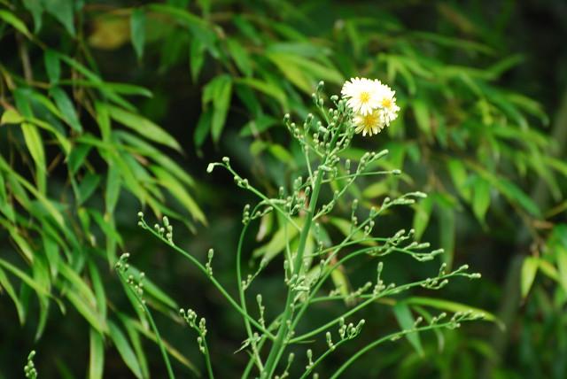 頭花が一つのアキノノゲシ