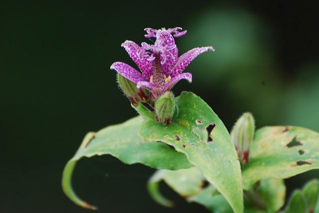 ホトトギスの花が美しい