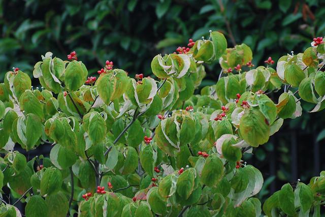 街路樹のハナミズキに赤い実
