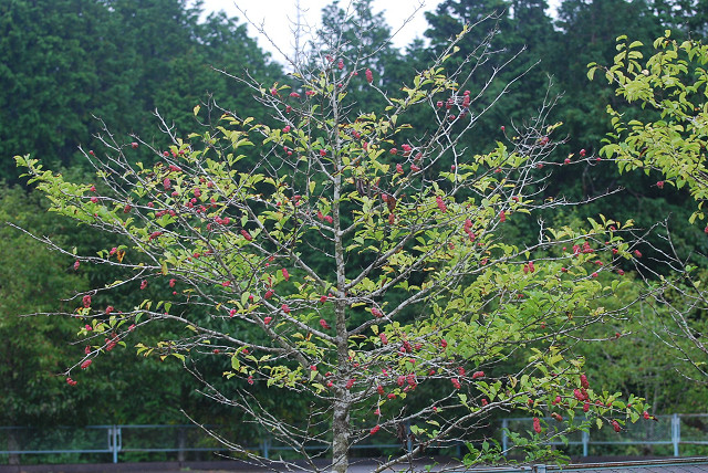 コブシが木にいっぱい