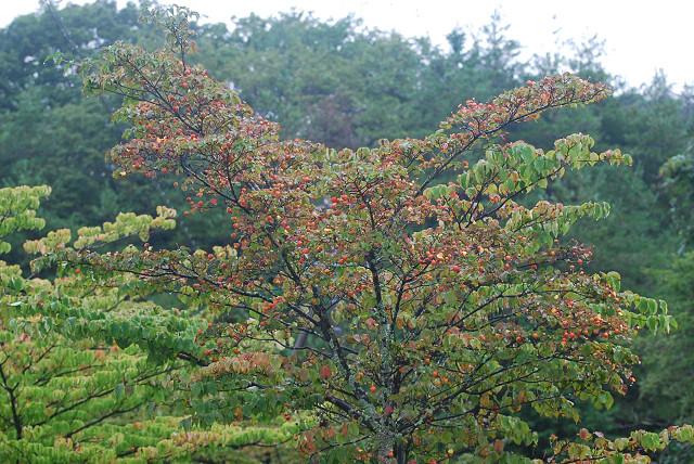 ヤマボウシの木に実がいっぱい