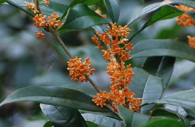 キンモクセイの花は