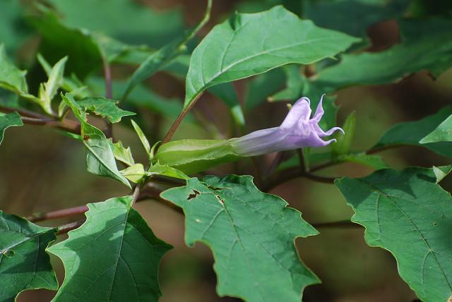 チョウセンアサガオの花が一輪