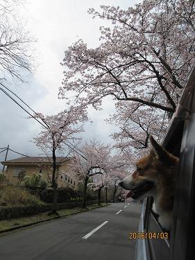 伊豆高原の桜-2