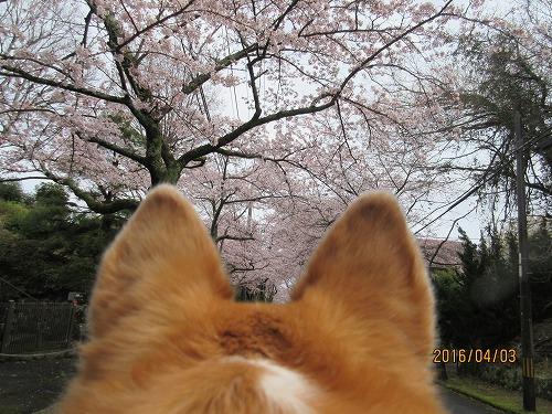 伊豆高原の桜-1