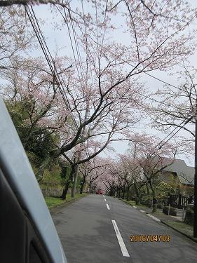 伊豆高原の桜-3