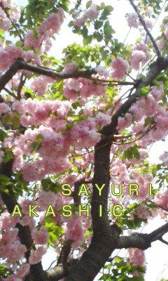 八重桜と新芽 アカシックリーダーさゆり
