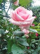 Pink Rose アカシックレコードリーダーさゆり