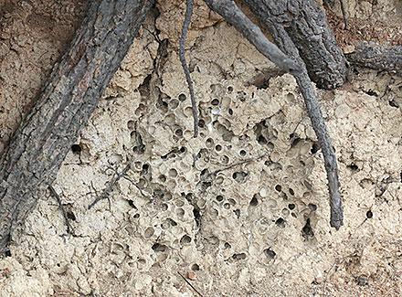 ケブカハナバチ
