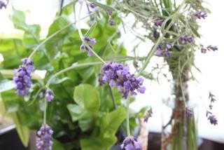 lavender_2016