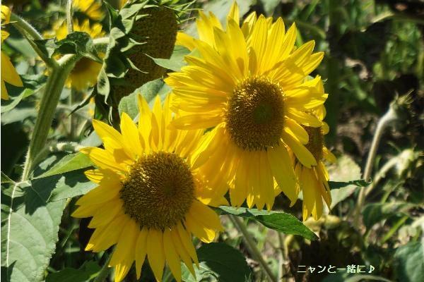 himawari039.jpg