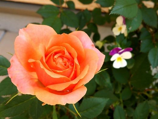 20150517_ミニバラ(オレンジ)2
