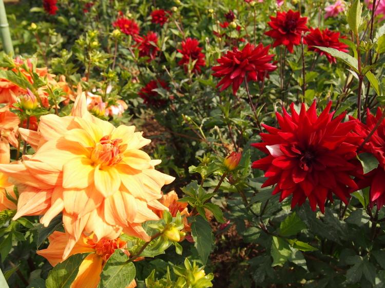 P9205607花匂、紅ばらa