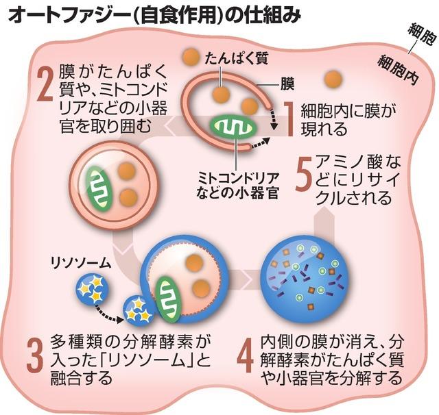 ノーベル受賞業績の「オートファジー」、どんな仕組み? 朝日新聞デジタル