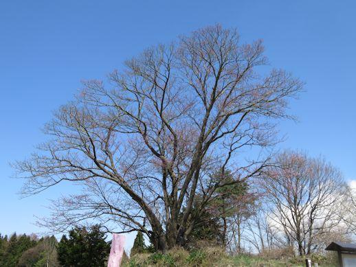 地蔵久保大山桜