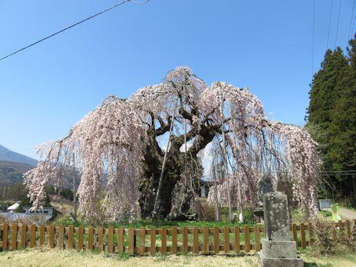 満開 袖之山 枝垂れ桜