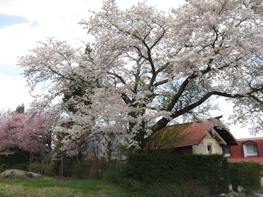 飯綱町  桜咲く