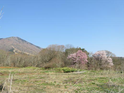 飯綱山麓の桜