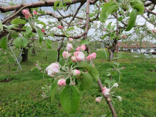 リンゴの 花