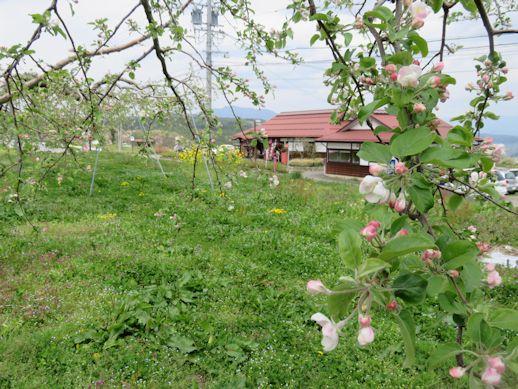 リンゴの花とお蕎麦屋さん
