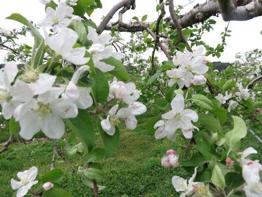 八分咲き リンゴの花