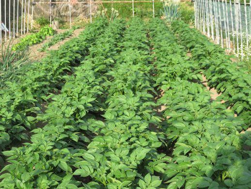 馬鈴薯 畑