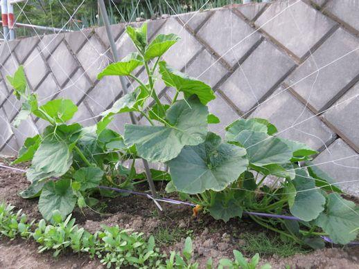 南瓜の棚仕立て栽培
