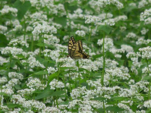 そばの花と蝶