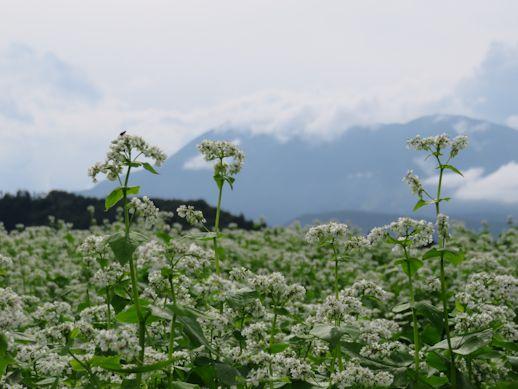 飯綱山をバックに・・そばの花