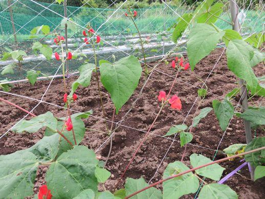 高原豆の花